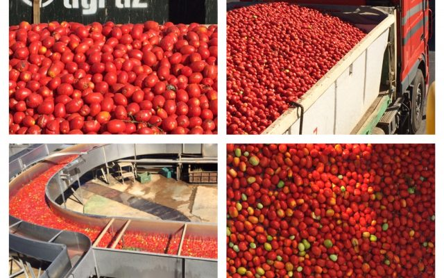 Pola pomidorów w Hiszpanii